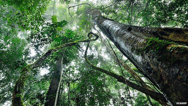 Tropical rainforest canopy (Image: South East Asian Rainforest Research Programme)