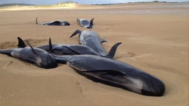 Falcarragh Five Whales Die On County Donegal Beach