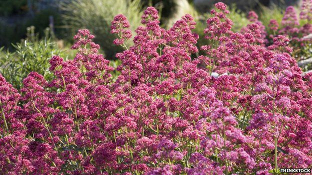 Buddleia the plant that dominates britains railways bbc news buddleia bush mightylinksfo