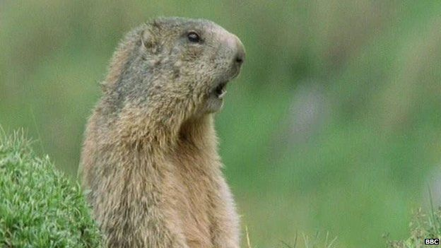 Picture of a marmot from the BBC series Walk on the Wild Side