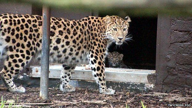 Amur snow leopard
