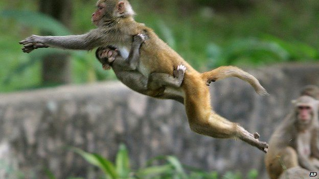 Macaque monkeys are considered sacred by Hindus, who often feed them