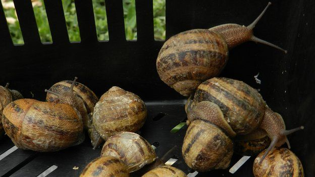 Snails being harvested from Mr Gugumuck's field