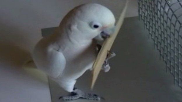 Cockatoo stripping a tool from a block of wood (c) A Auersperg