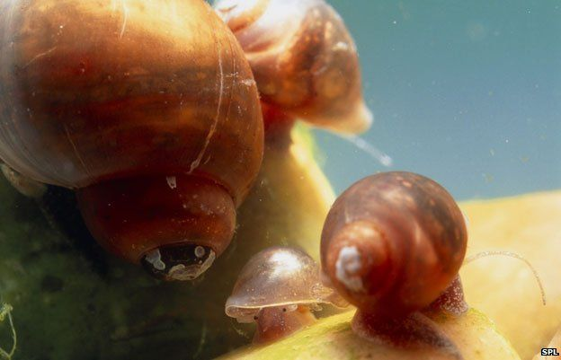 Snails carry the schistosomiasis parasite