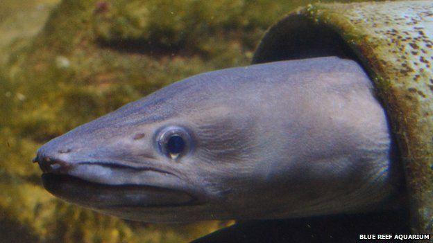 The eel which was dumped at the Blue Reef Aquarium