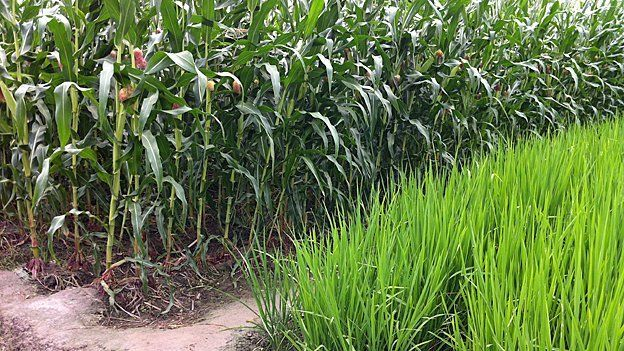 Maize and rice now grow side by side in the area