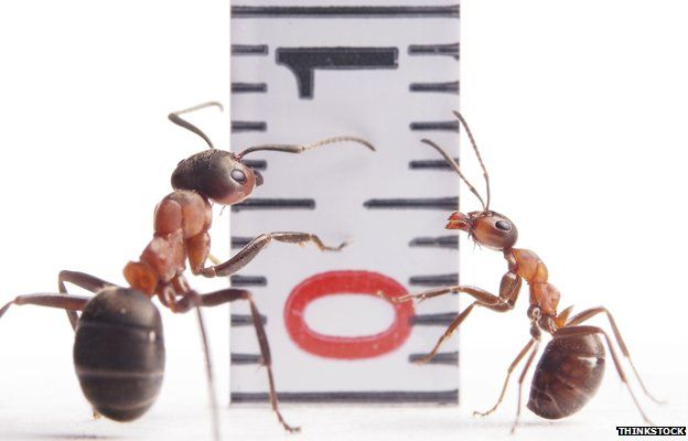 Ants next to a tape measure