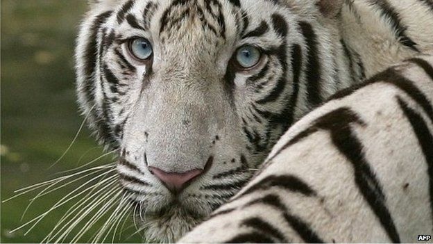 white tiger kills zookeeper in japan but family urges mercy bbc news