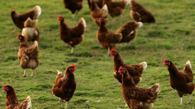 Chickens in field