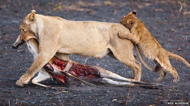 Lions by Neil Aldridge