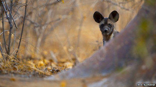 African wild dog by Neil Aldridge