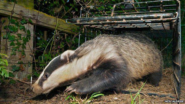 Badger by Neil Aldridge