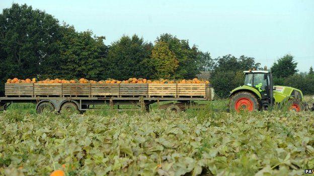 Harvesting pumpkins in Cambridgeshire