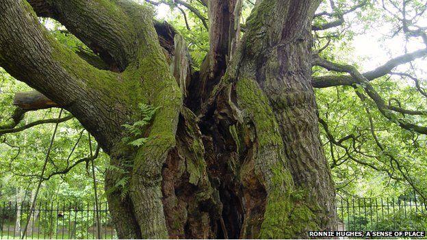 A cavernous split in the old oak tree