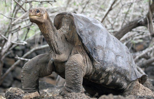 Lonesome George the giant tortoise