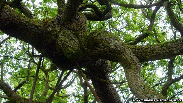 Poles prop up the old oak