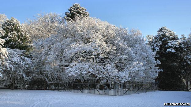 The Allerton Oak in winter...