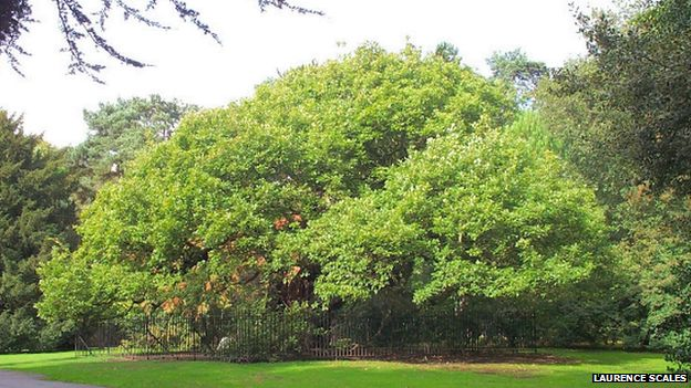 The Allerton Oak in full bloom