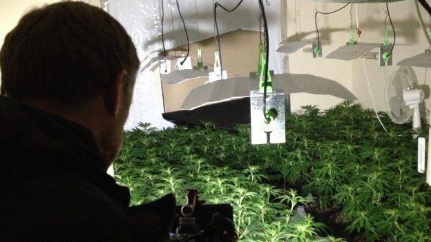 Home-grown cannabis