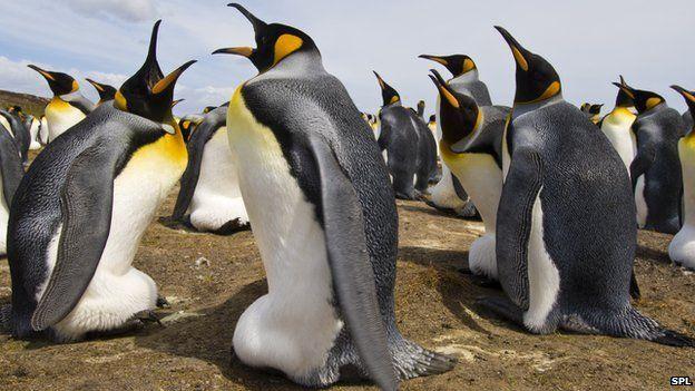 King penguins incubating eggs