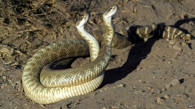 Pacific Rattlesnakes (Crotalus atrox) mating