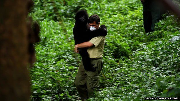 the director of the park carries a young gorilla