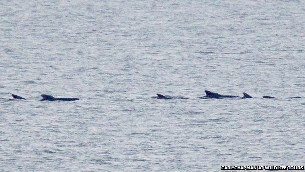 Pilot whales off Cley next the Sea