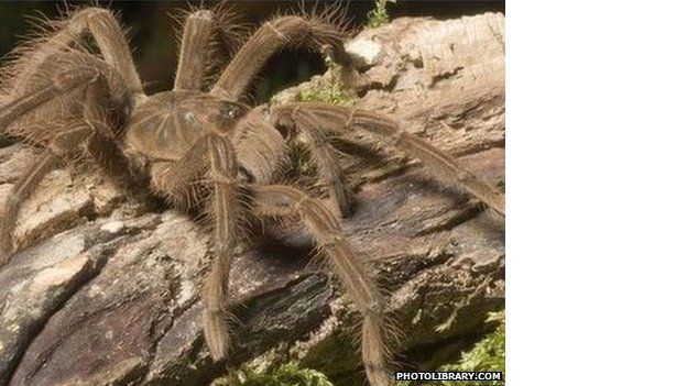 Top Of The Pests Rats Wasps And Bird Eating Spiders Bbc News