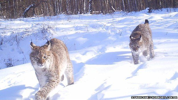 Lynx in the Chernobyl Exclusion Zone (Image courtesy of Sergey Gashchak/Chornobyl Center, Ukraine)