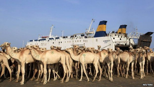 Camels are prepared for export at the loading dock at the sea port in Somalia's capital Mogadishu, 3 August 2013