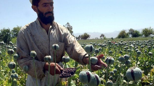 An Afghan farmer collecting resin from poppies in Nangarhar province