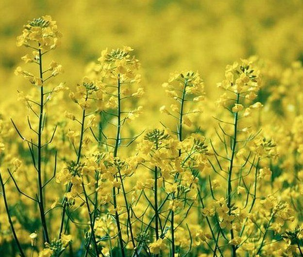Canola - a variety of oilseed rape