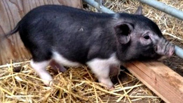 Abandoned micro pig