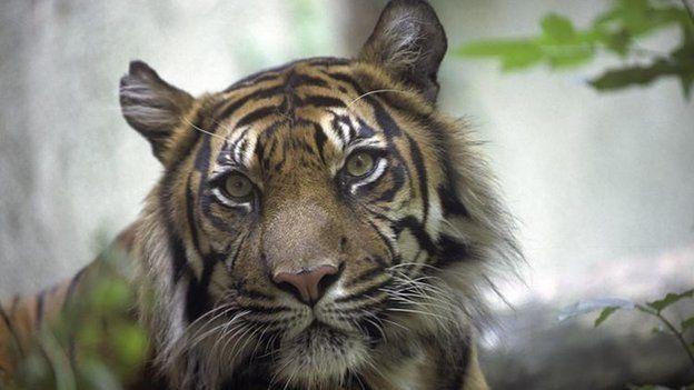 Sumatran tiger in