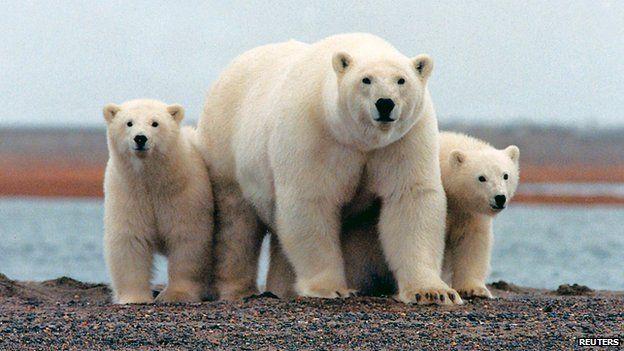 Polar bears in Alaskan refuge