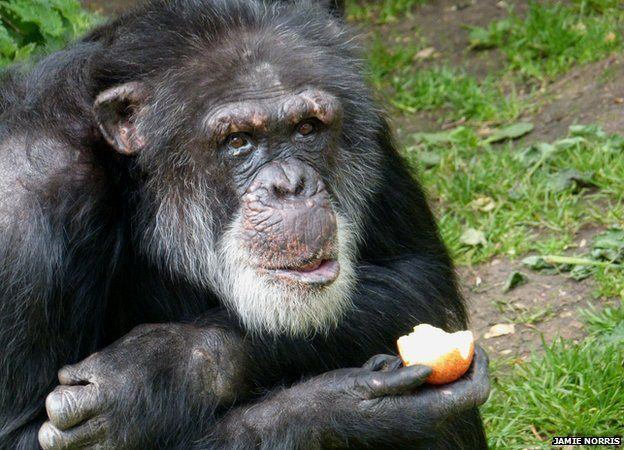 One of the Edinburgh chimpanzees