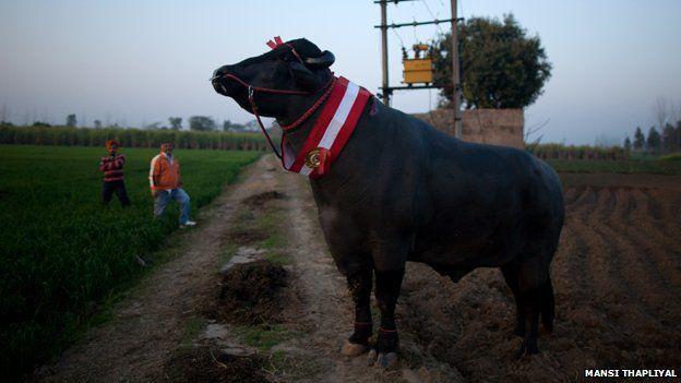 The bull whose semen is worth $3,000 - BBC News