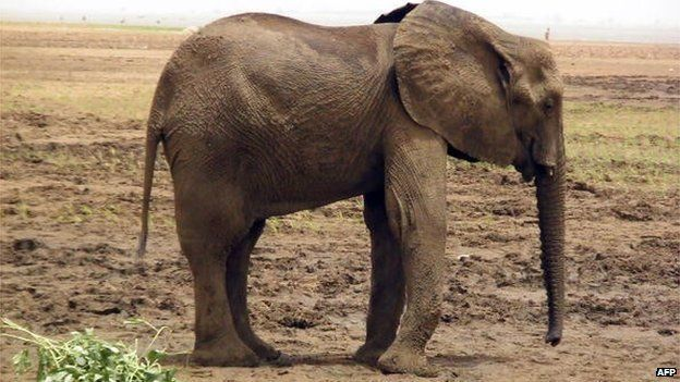 A desert elephant walks in the north of Mali, known as the Gourma area, on 26 May 2010