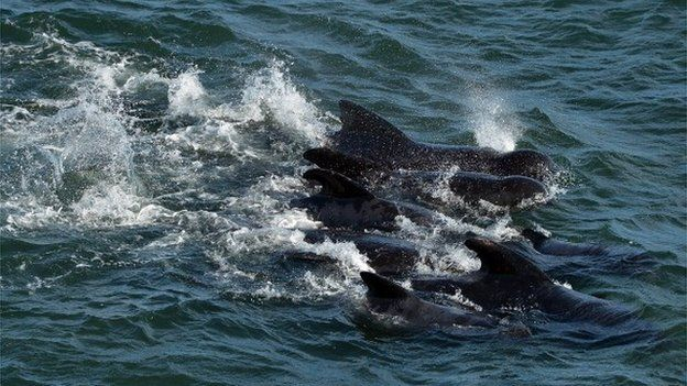 File photo of pilot whales in Scotland