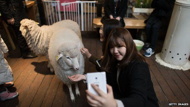 Women at a cafe with live sheep in Seoul, South Korea (17 Feb 2015)