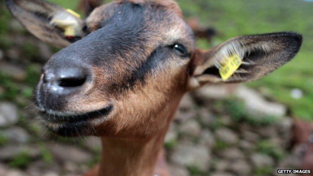 The year of the goat is about patient determination