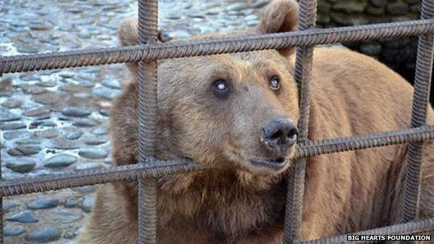 One of the bears sticking its head through the cage bars