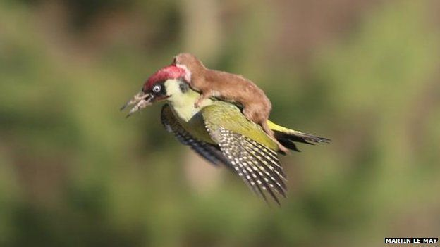 Weasel takes a ride on a bird