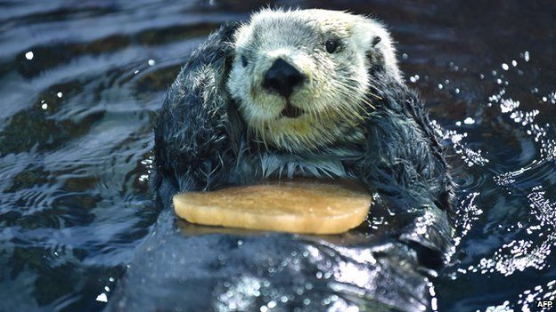 Sea Otter looking cute