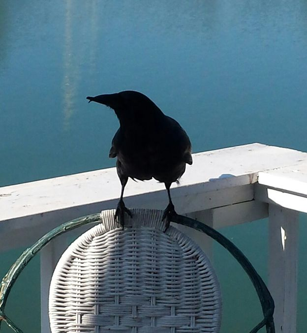 Crow perched on a chair on a deck above the water
