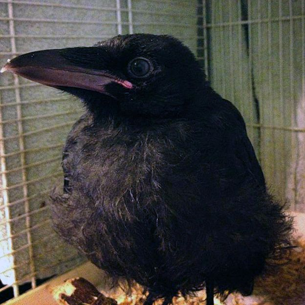 Crow named Mr Elliott as a young bird