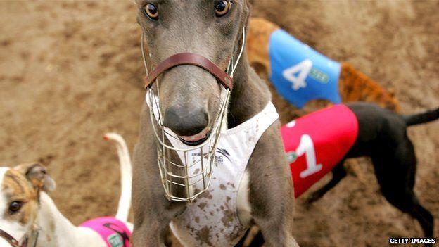 Greyhounds in Sydney, Australia (file image)