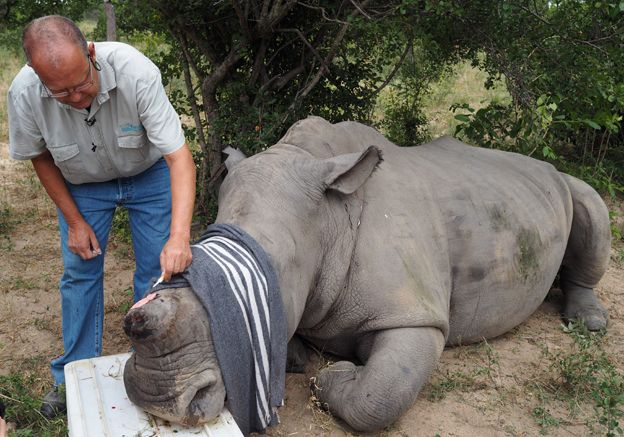 Vet performs procedure on injured rhino in Kruger National Park