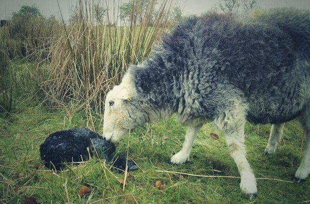 A sheep with a newborn lamb